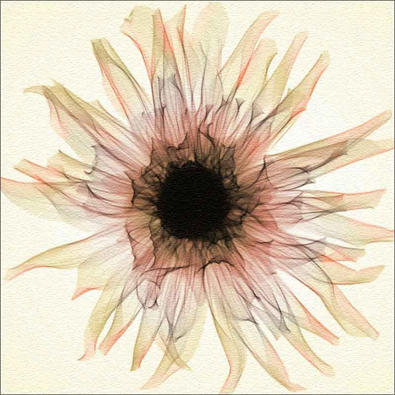 Dahlia - Sepia by Hong Pham Glass Accent Tile - OB-HP12cAT