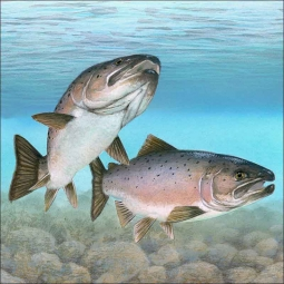 Atlantic Salmon by Tim Knepp Ceramic Accent & Decor Tile - TKA002AT